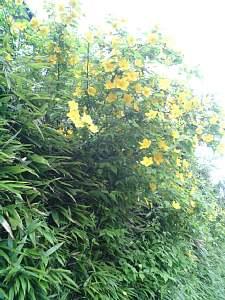 うちの近所の山吹の花